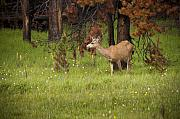 Mule Photos - Mule Deer by Chad Davis