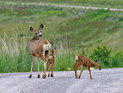 Motherhood Posters - Mule Deer Doe and Twin Fawns Poster by Karon Melillo DeVega