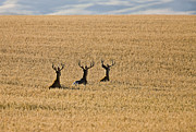 Stag Acrylic Prints - Mule Deer in Wheat Field Acrylic Print by Mark Duffy