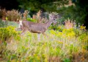 Mule Photos - Mule Deer by Matt Suess