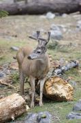 Mule Photos - Mule Deer Odocoileus Hemionus Buck by Rich Reid