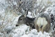 Backs Prints - Mule Deer Odocoileus Hemionus In Snow Print by Philippe Henry