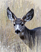 Bugel Prints - Mule Deer Spike Print by Steve McKinzie