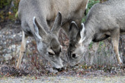Mule Photos - Mule deers in Jasper National Park by Pierre Leclerc