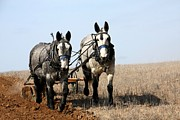 Horses In Harness Prints - Mule Team Print by Laurel Sherman