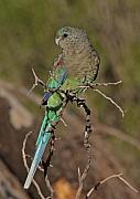Parrot Metal Prints - Mulga Parrot female Metal Print by Tony Brown