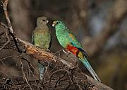 Parrot Metal Prints - Mulga Parrot pair Metal Print by Tony Brown