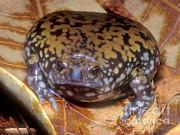 Mullers Termite Frog Print by Dante Fenolio