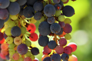 Merlot Prints - Multi Color Grapes on the Vine Print by Brandon Bourdages