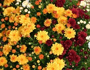 Multi Colored Mums Print by Living Color Photography Lorraine Lynch