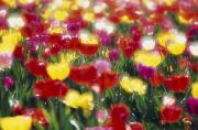 Woodburn Posters - Multi-colored Tulips Blooming In Field Poster by Natural Selection Craig Tuttle