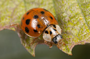 Ladybeetle Photos - Multicolored Asian Lady Beetle by Clarence Holmes