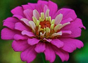 Photograpy Metal Prints - Multicolored Zinnia 9476 4268 Metal Print by Michael Peychich