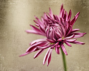 Focus On Foreground Art - Mum Flower by Jody Trappe Photography