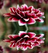 Flower - Mum in Reflection by Cathie Tyler