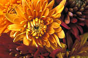 Autumn Greeting Cards Prints - Mums the Word Print by Kathy Yates