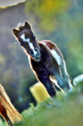 Paint Foal Metal Prints - Munchkin Metal Print by Emily Stauring