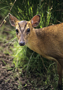 Reeves Prints - Muntjac Deer Print by David Aubrey