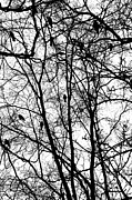 Ravens Photo Prints - Murder of Crows Print by Dean Harte