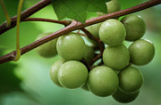 Green Grapes Prints - Muscadine Green Print by James Barber