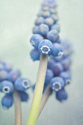 Grape Hyacinths Posters - Muscari Poster by Priska Wettstein