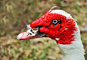 Aquatic Animal Framed Prints - Muscovy Duck 2 Framed Print by Kaye Menner