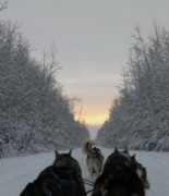 Husky Photo Prints - Mushing into the Sunset Print by Tanja Hymel