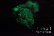 Luminescence Posters - Mushroom Bioluminescence Poster by Ted Kinsman