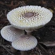 Mushroom Trio Squared Print by Teresa Mucha