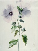 Musk Prints - Musk Mallow Print by Marie-Anne