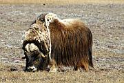 Musk Prints - Musk Ox Print by Anthony Jones