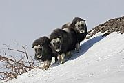 Musk Prints - Musk Ox Calves Print by Tim Grams