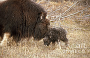 Oxen Art - Musk Ox Cow And New Calf by Joseph Rychetnik