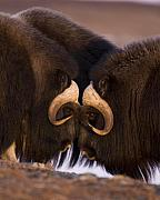 Ox Posters - Musk Ox- Eye to Eye Poster by Tim Grams