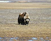 Musk Prints - Musk Ox Grazing Print by Anthony Jones