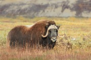 Sam Amato - Musk Ox in Prudhoe Bay