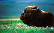 Canadian Wildlife Framed Prints - Musk Ox Framed Print by John  Bartosik