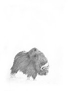 North American Wildlife Drawings Posters - Musk Ox Poster by Mick Gwin