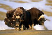 Musk Prints - Musk-oxen Form A Defensive Circle Print by Paul Nicklen