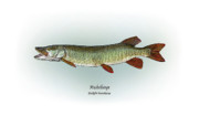 Game Fish Drawings Framed Prints - Muskellunge Framed Print by Ralph Martens