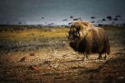 Life In Space Prints - Muskox Ovibos Moschatusin The Northwest Print by Darren Greenwood