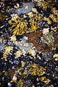 Marine Life Photos - Mussels and barnacles at low tide by Elena Elisseeva