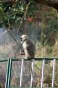 Ape Photo Originals - Mussoorie Langoor by Padamvir Singh