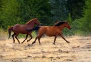 Wild Horses Photo Posters - Mustang Gallop Poster by Mike  Dawson