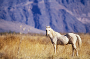 Roaming Photo Posters - Mustang Poster by Mark Newman and Photo Researchers