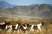 Wild Horses Framed Prints - Mustangs Framed Print by Mark Newman and Photo Researchers