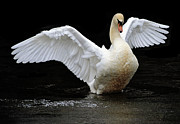 Pinion Art - Mute Swan 2 by Brian Stevens