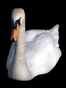 Mute Swan At Night Print by Lynne Dymond