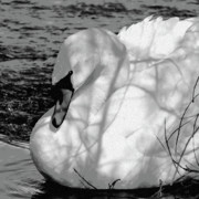 Black And White Digital Art Prints - Mute Swan Print by Betty LaRue