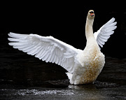 Pinion Art - Mute Swan by Brian Stevens